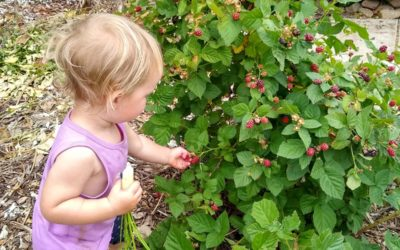Growing small blackberry and raspberry bushes on stakes