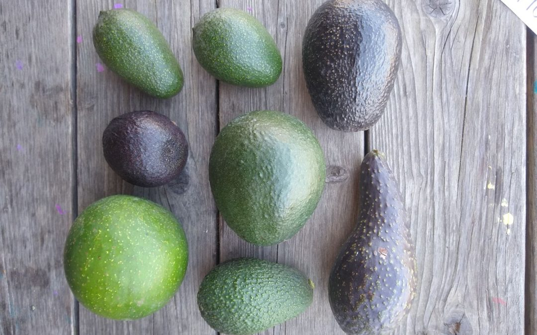 """Online presentation """"Avocados: Varieties and Heat"""" this Friday"""