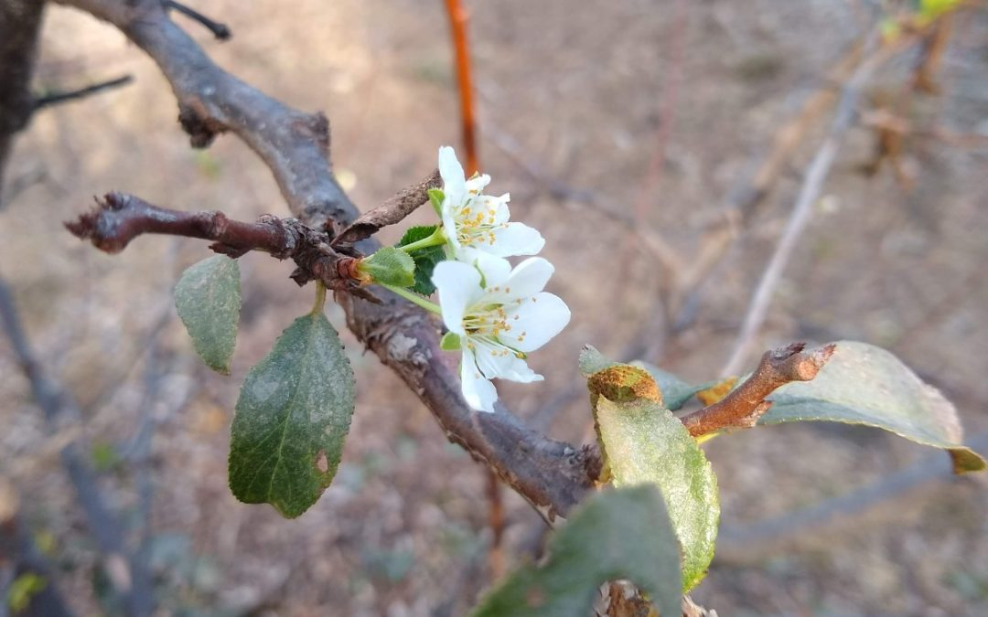 Fruit trees can bloom after stress