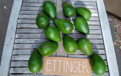 Ettinger avocado: a profile