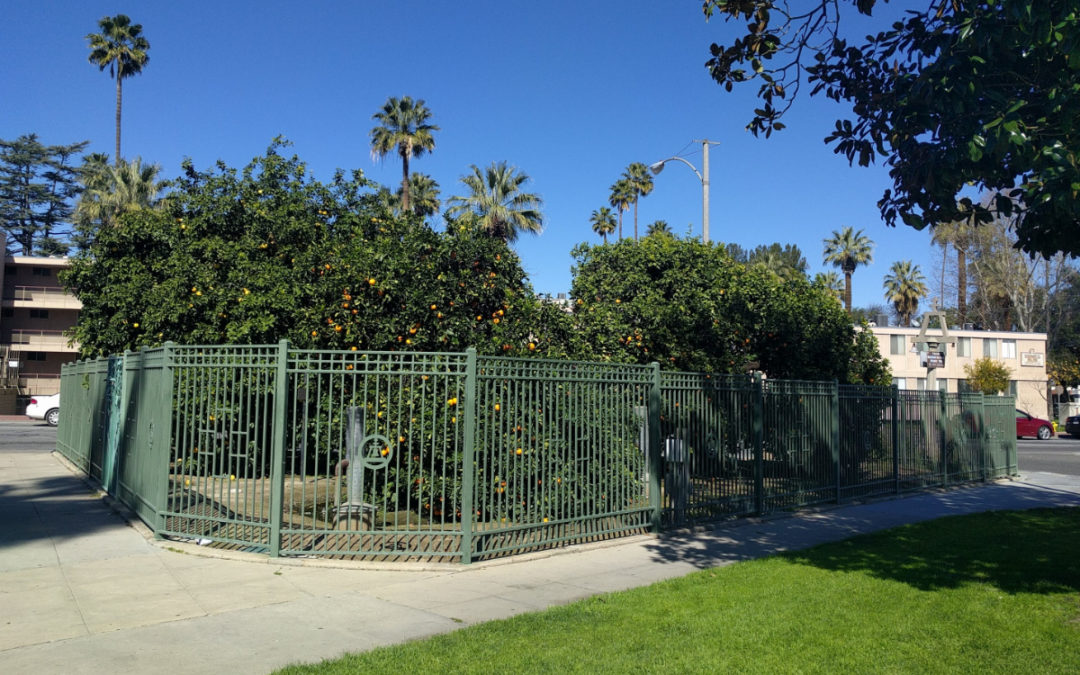 Saving the Parent Washington Navel orange tree