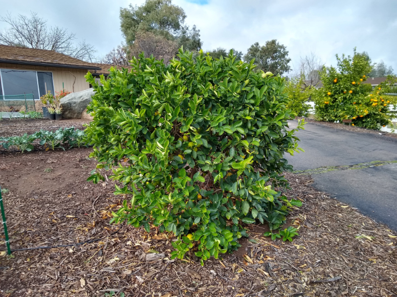 The Bearss lime tree: a profile