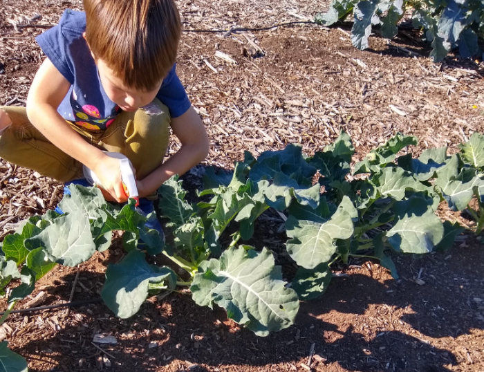 Controlling aphids on broccoli and cauliflower: an experiment with the kids