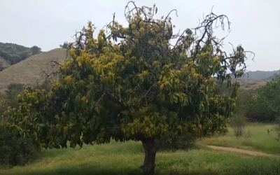 A feral avocado tree in Southern California