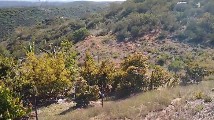 Tour of avocado variety collection in San Diego County