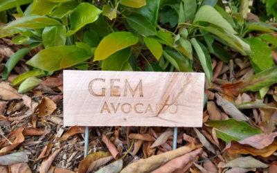 The GEM avocado tree: a profile