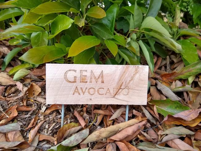 GEM avocado tree profile