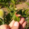 peach leaf curl in 2021