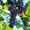 grapes in Southern California