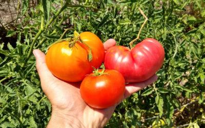 Failing at Tomatoes