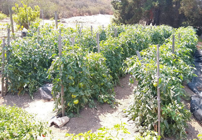Succeeding at tomatoes