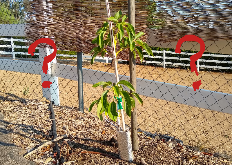 When to give up on an avocado tree