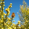 coyote bush for bees in October